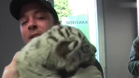 饲养员即将辞职,小老虎不断哀嚎,镜头记录让人泪目瞬间