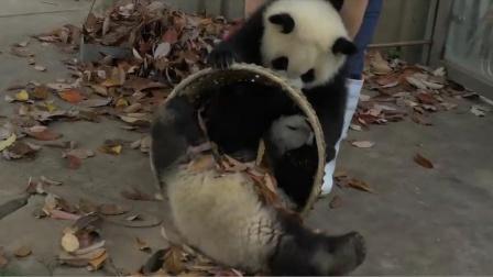 调皮的熊猫气哭饲养员?这必须得心态好,镜头拍下搞笑瞬间.