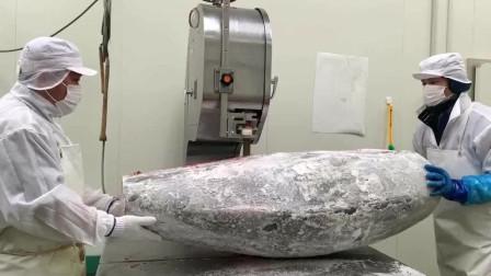 监控视频:墨西哥食品加工厂的蓝旗金枪鱼,第一次见,好大。