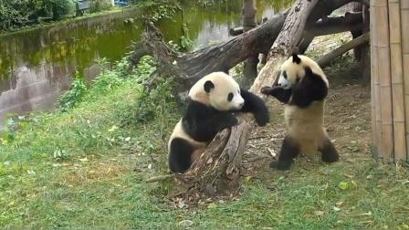 熊猫宝宝打妈妈,结果被妈妈反揍,接下来不要笑