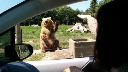 游客给棕熊打招呼,棕熊还知道伸手表示回应,这熊是成精了吧