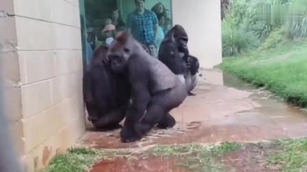 这么大的雨还怎么回去啊,可能这群猩猩,真的要进化了