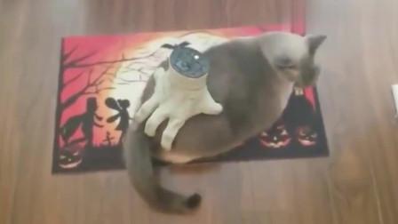 懒主人用玩具打发猫星人,暹罗猫:反正和真实手感不一样