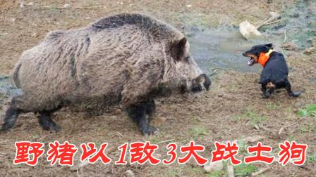 3只土狗围攻野猪,以为狗多势众,结果被野猪一头撞飞