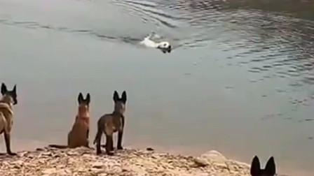 马犬们不给拉布拉多犬上岸的机会,到底什么仇什么怨啊?