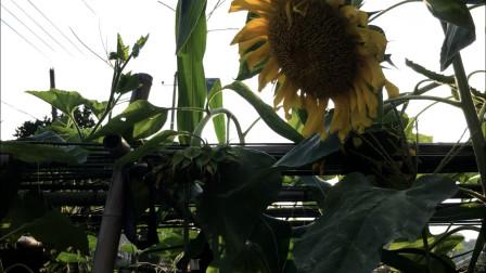 给蜜蜂种下遮荫避雨防盗蜂的植物,夏天到了还可以额外的收获果实
