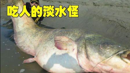 吃人的巨型淡水鱼?可怕的欧鲇,竟然用面粉就能钓上来!