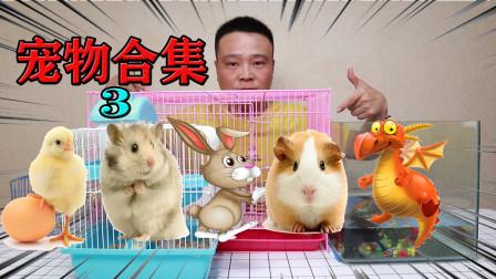 小浪哥回顾侏儒兔、金丝熊、蝴蝶犬、荷兰猪小黄鸡等过的好吗?