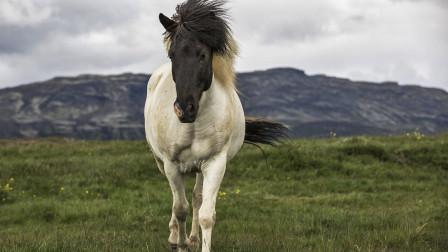 冰岛发现毛色怪异的马,立马被隔离保护起来,只为保持血统纯正
