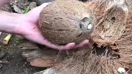 海南特产,据说十个椰子不一定有椰宝,你吃过椰宝嘛