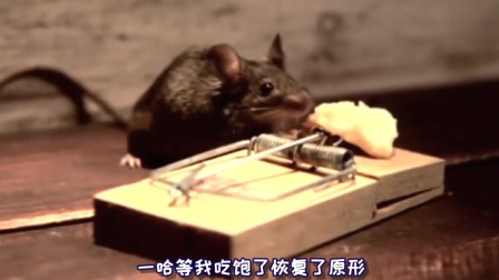 耗子用老鼠夹来健身?