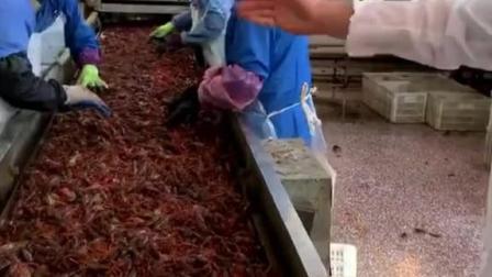 龙虾尾的制作过程,喜欢的话,点个赞哦