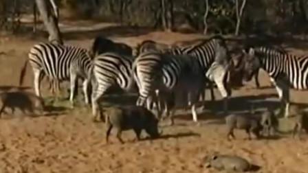 动物世界:印度疣猪打扰斑马吃大餐 遭后腿一击瞬间悲剧 狮子豹子看到都害怕
