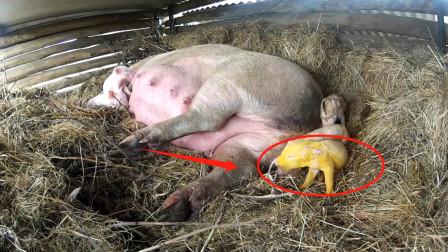 """老母猪产下""""小金猪"""",本以为发大财了,不曾想是个寂寞!"""