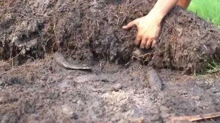 国外当地人想吃鱼时,只需要找一块土地,就能挖出来!