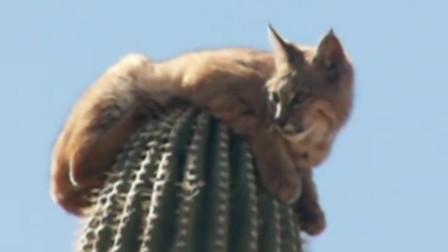 """猞猁为躲美洲狮,""""嗖""""一声爬上20米高的仙人掌!不嫌扎得慌吗?"""