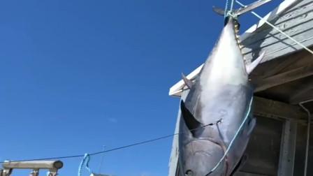 在美国钓到的蓝鳍金枪鱼,700磅的重量要去登记,你们知道这个值多少钱么?