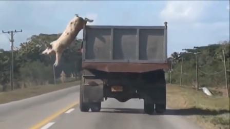 一头肥猪不甘心被宰,从2米高的卡车跳下,成功改变自己的命运!
