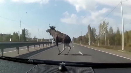 行车记录仪:还好这头牛跑得快,否则后果不堪设想