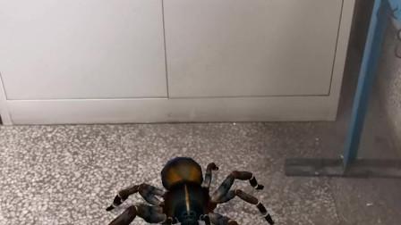 这么大的蜘蛛,我第一次见!