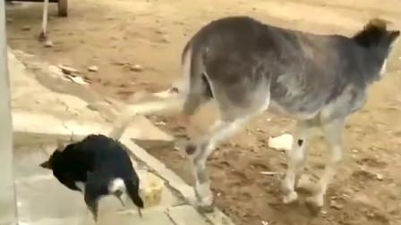 狗狗抢吃驴的食物,不料被驴一脚踢中脑门,疼得嗷嗷哭!