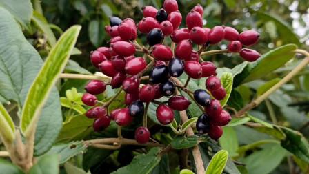 羊舌头,荚蒾,农村常见植物,果实可食用也可酿酒,树桩可做盆景