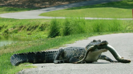 """鳄鱼马路上捕食电鳗,一口咬住电鳗""""要害"""",猜猜结果会怎么样?"""