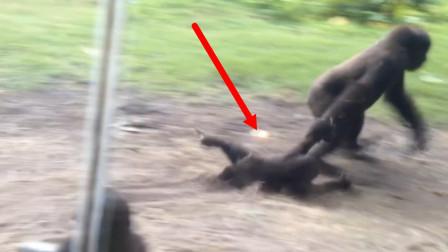 熊孩子惹毛大猩猩,被其就地拖走!熊孩子的反击那就绝了