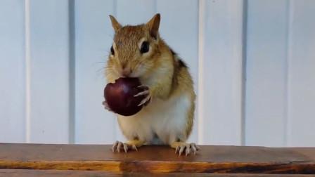 花栗鼠第一次见樱桃,开始还小心防备,最后又成了真香现场