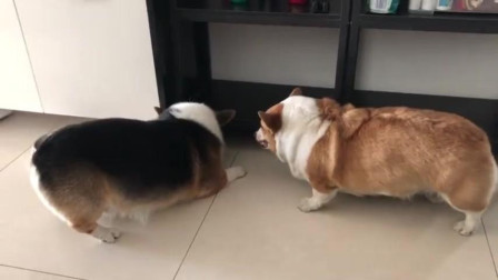 两只小狗在干嘛呀, 吃空气吗