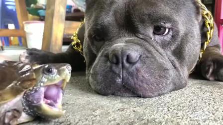 龟狗大战谁是胜者,心疼恶霸犬三秒钟,隔着屏幕都能感觉疼