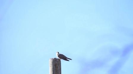 动物的世界:为什么一只鸟,成天叫着:不哭 不哭 !