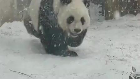 熊团子平时没见过下雪天吧,下个雪看把它给乐的,不知道怎么着好了!