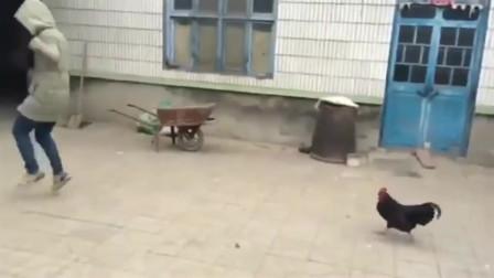 女朋友一米七的个子,输给了乡下的一只公鸡,我都快笑趴了!
