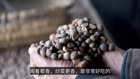 维生素E是橄榄油的2倍,榨油1斤能卖150元,农民却不敢种植