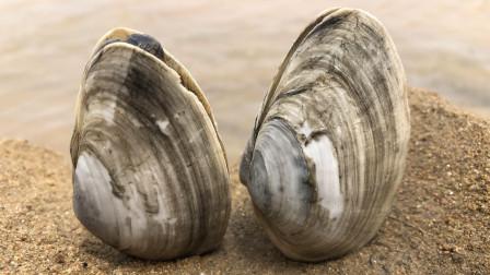 小倪赶海真会找地方,发现一片沙滩都是野生鹅蛋蚬,随便挖真过瘾