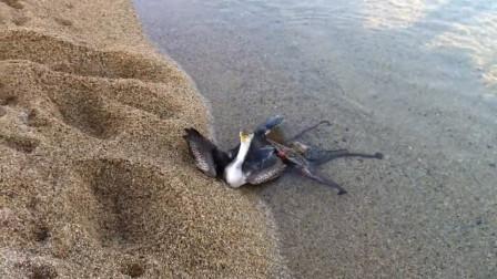 """海鸥捕食章鱼,本以为大局已定,没想到却遭到章鱼""""反杀"""""""