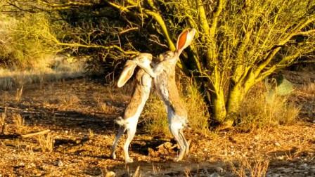 """网友偶遇两只兔子掐架,、打得难舍难分,兔子:看我""""打爆""""你的兔头!"""