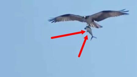 """真""""鲨雕""""组合!老鹰海边抓住一条鲨鱼飞上天,鲨鱼:就挺突然的"""