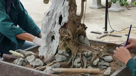 """塑造盆景""""大胆"""",刨掉根部的泥土,将石头卡进去,附石效果真好"""