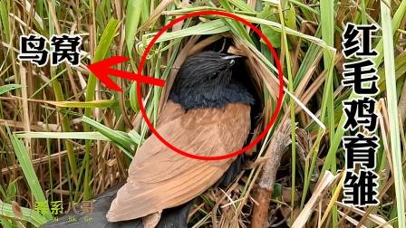 红毛鸡的鸟窝极其隐蔽,在茂密的茅草里,不仔细找很难发现