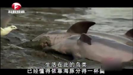 海豚竟然上岸捕鱼!机智的海豚齐心协作,将鱼群赶上岸