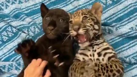 黑花豹与小花豹,猛兽也有这么萌的时候