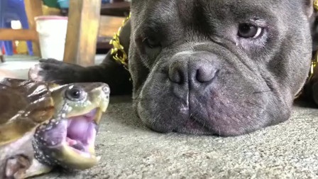 龟狗大战谁是胜者,心疼恶霸犬 隔着屏幕都能感觉疼