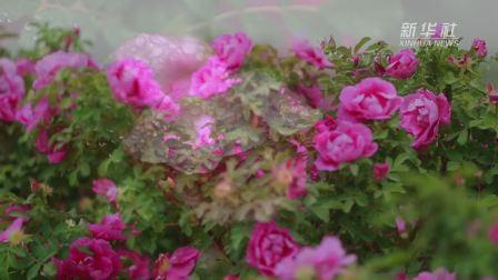 我在南疆|玫瑰厂长拜合提亚