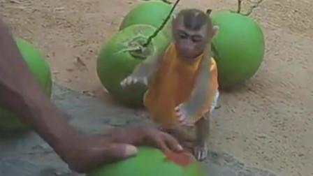 一直萌萌的小猴子想帮主人开椰子,表情动作太可爱了,想养一只不