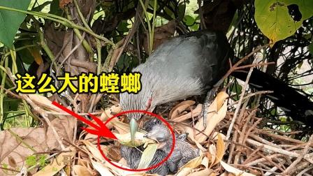鸟妈妈抓回大螳螂喂小鸟,小鸟强吞进去,噎得好难受,咋办呢?