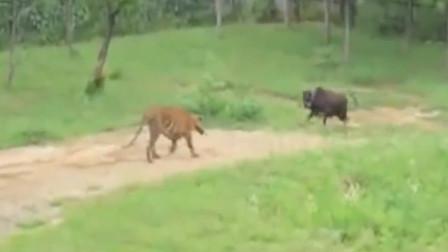 动物园用活牛投喂老虎,牛儿却不认命,直接和老虎硬碰硬!