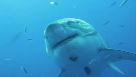 """海洋中的人魔""""大白鲨"""",但其实它们不喜欢吃人!"""