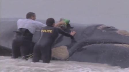 一条鲸鱼搁浅,人们却在鲸鱼上安放炸药,这到底是怎么回事?